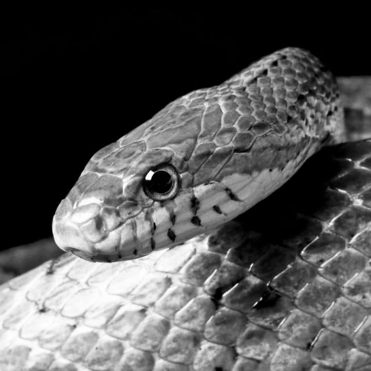 Greyscale image of Maizie, a corn snake